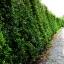 ขายต้นไทรเกาหลี ไทรประดับ ทำรั้ว สูง 2-2.5 เมตร thumbnail 10