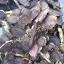 ขายส่ง/ปลีก กระชายดำป่า อบแห้ง (1 กก.) thumbnail 4