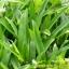 ต้นหญ้าปั่ง หรือหญ้าเทวดา thumbnail 1