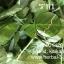 ต้นพันธุ์เจียวกู่หลาน thumbnail 3