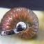 แอมโมไนต์ประกายรุ้ง ( Rainbow Ammonite ) thumbnail 4