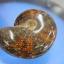 ฟอสซิลหอยทะเลแอมโมไนต์ (Ammonite)ลายใบไม้ thumbnail 2