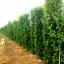 ขายต้นไทรเกาหลี ไทรประดับ ทำรั้ว สูง 2-2.5 เมตร thumbnail 3