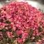 อู่หลงดอกไม้หอม หรือ อู่หลงอบกุหลาบ (กิโล) thumbnail 1