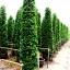 ขายต้นไทรเกาหลี ไทรประดับ ทำรั้ว สูง 2-2.5 เมตร thumbnail 1