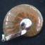 จี้ฟอลซิลแอมโมไนต์ประกายรุ้ง ( Rainbow Ammonite ) thumbnail 1