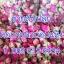 ขายส่งชาดอกกุหลาบคัดพิเศษเกรดA (อบแห้ง) 1 กก thumbnail 5
