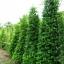 ขายต้นไทรเกาหลี ไทรประดับ ทำรั้ว สูง 1.5-2 เมตร thumbnail 1