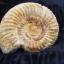 ฟอสซิลแอมโมไนต์กระดองแข็ง ( Perisphinetes Ammonite ) thumbnail 4