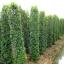 ขายต้นไทรเกาหลี ไทรประดับ ทำรั้ว สูง 2-2.5 เมตร thumbnail 6