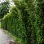 ขายต้นไทรเกาหลี ไทรประดับ ทำรั้ว สูง 2-2.5 เมตร thumbnail 9
