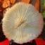ปะการังดอกเห็ด ( Mushroom coral ) thumbnail 1
