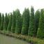 ขายต้นไทรเกาหลี ไทรประดับ ทำรั้ว สูง 2-2.5 เมตร thumbnail 7