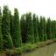 ขายต้นไทรเกาหลี ไทรประดับ ทำรั้ว สูง 2-2.5 เมตร thumbnail 8