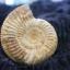 ฟอสซิลแอมโมไนต์กระดองแข็ง ( Perisphinetes Ammonite ) thumbnail 3