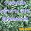 ขายส่ง/ปลีก หญ้าหวานอบแห้ง 100% (กิโล) thumbnail 7