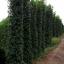 ขายต้นไทรเกาหลี ไทรประดับ ทำรั้ว สูง 2-2.5 เมตร thumbnail 5