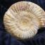ฟอสซิลแอมโมไนต์กระดองแข็ง ( Perisphinetes Ammonite ) thumbnail 2